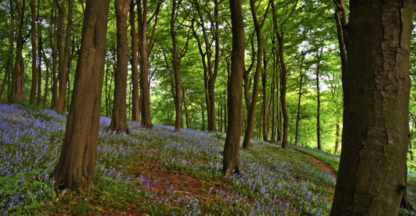 woodlands, many trees with bluebell carpet